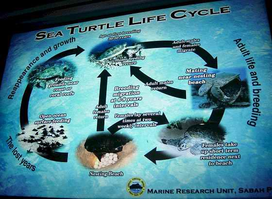 The life cycle of a turtle